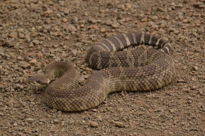 Elgin, Oregon, rattlesnake