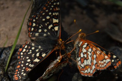 Snowberry checkerspots