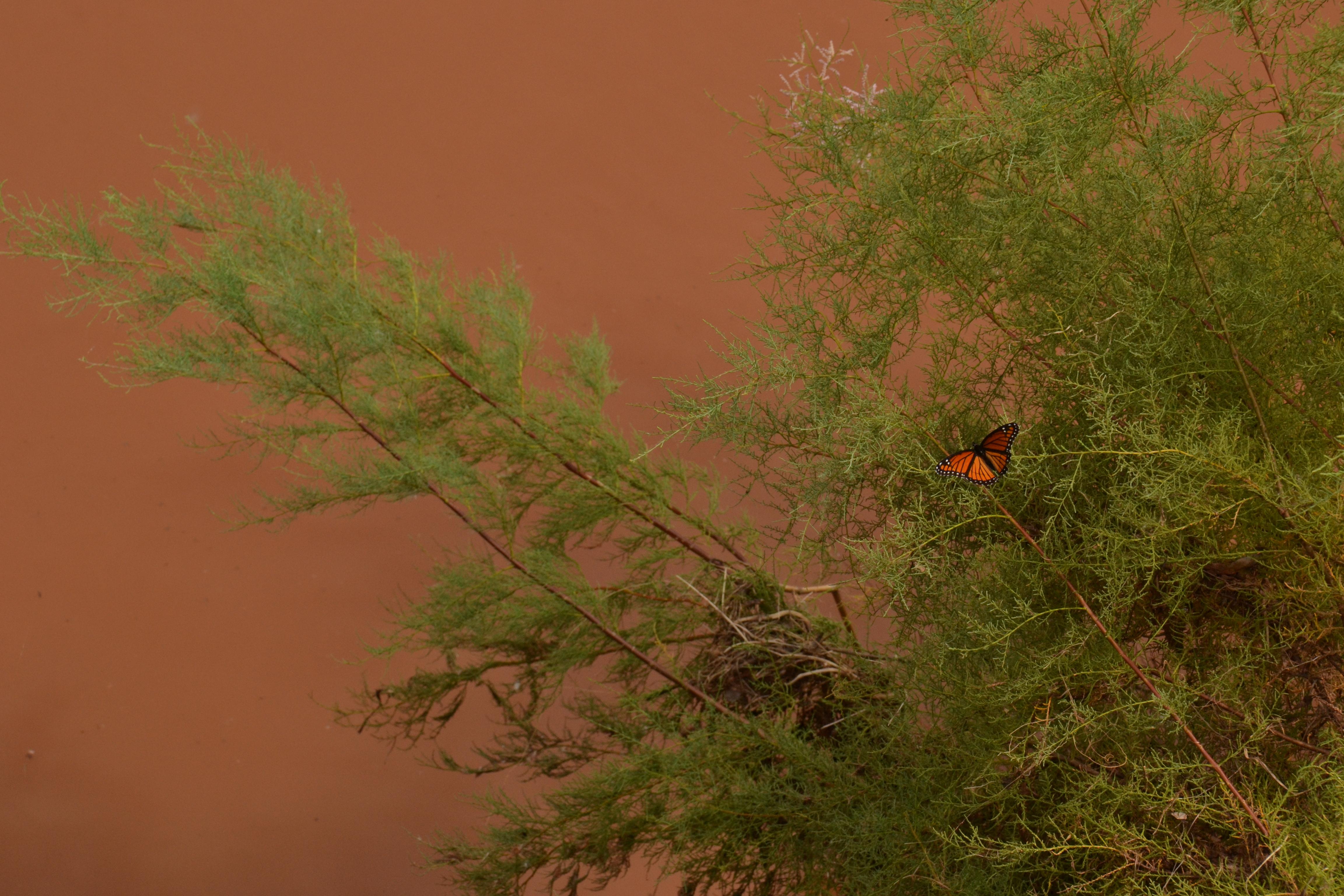 Cimarron River, Oklahoma, monarch, tamarisk