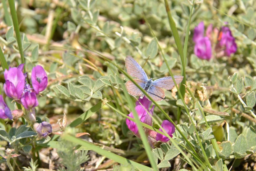 Montana, sale, sales, butterfly, wildflower, wildflowers, flowers, flower