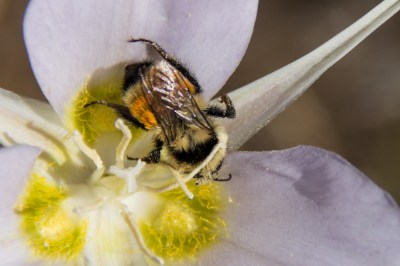 Bee on Sego Lily