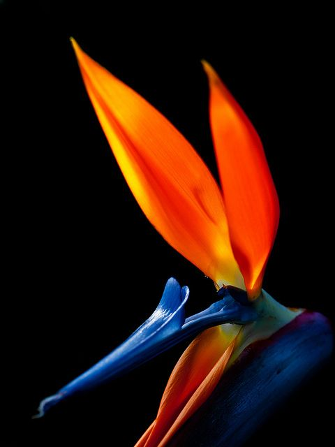 bird-of-paradise1.jpg