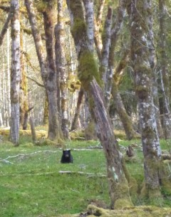 Black bear cub, Enchanted Valley, Olympic National Park, WA