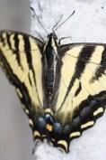 Butterfly, Pipe Creek, TX