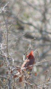 Cardinal, Texas Hill Country