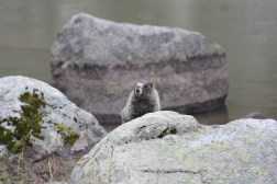 Marmot, Whistler Mountain, BC, Canada