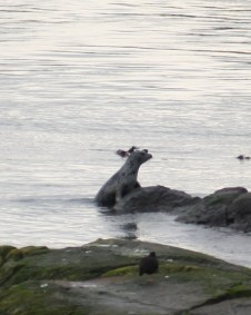 Harbor Seal, Shark Reef Sanctuary, Lopez Island, WA