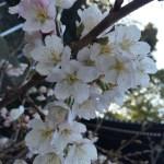 明正寺桜とマインドパワー