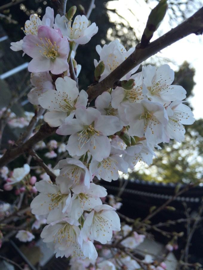 明正寺桜1