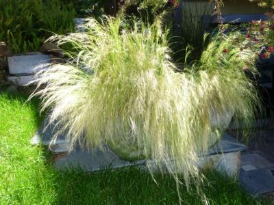 Mexican Feather Grass - Stipa Tenuissima