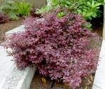 Chinese Fringe Flower - Loropetalum chinense