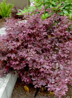 Chinese Fringe Flower - Loropetalum chinense