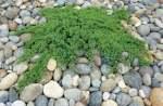 Japanese Garden Juniper - Juniperus Procumbens Nana