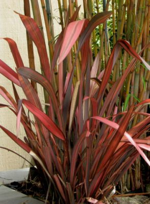 Maori Maiden or Rainbow Maiden - Phormium