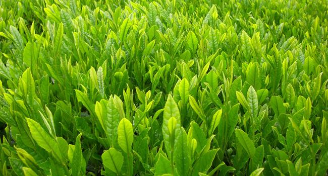 新茶の茶畑
