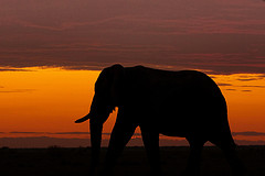 africa elephant as sunset