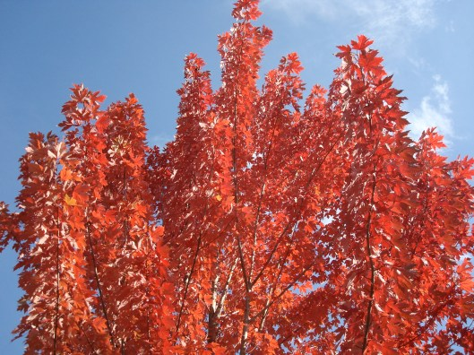Autumn's bright red leaves