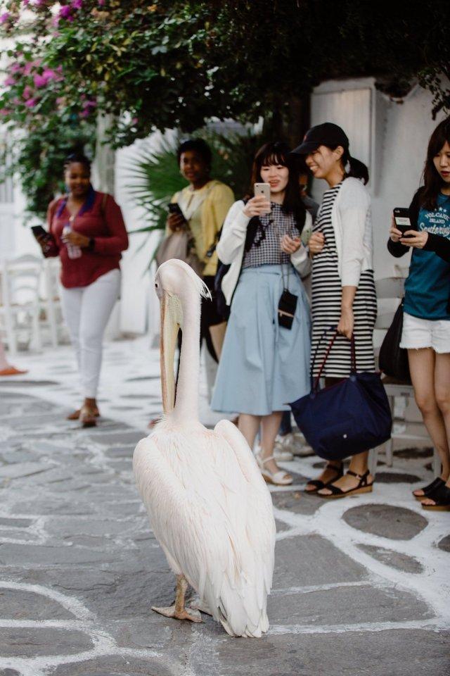 Petros the pink pelican in Mykonos Town, Greece by Tami Keehn
