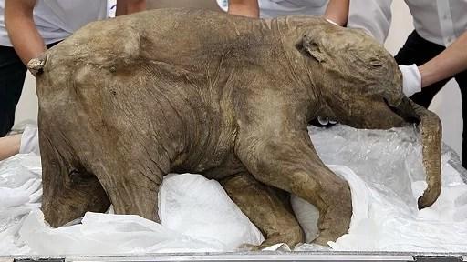 42,000-year-old's elephant  body was found