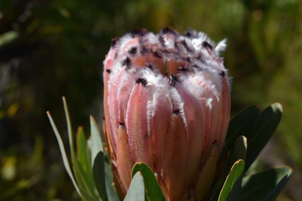 tamlyn-amber-wanderlust-photography-protea
