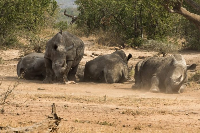 rhino-kruger-park