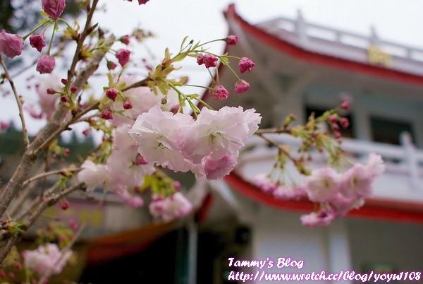 《嘉義旅遊》阿里山國家森林遊樂區-櫻花季末