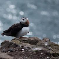 Bird bonanza on the Farne Islands