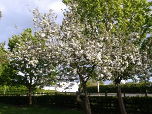 Jezzie's Apple Tree 2013-05-15 18.12.17