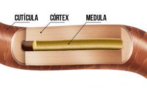 Estrutura do fio de cabelo: córtex, medula e cutícula