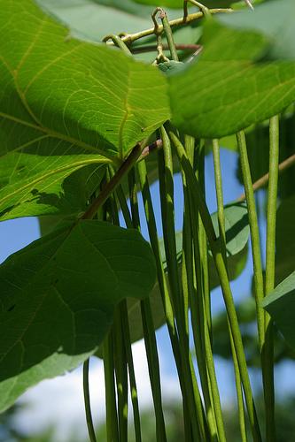 キササゲという樹木の実が垂れ下がっています。