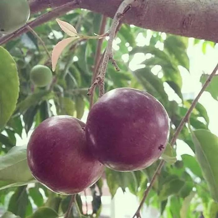 bibit plum