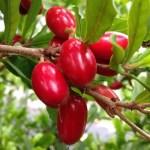 bibit miracle fruit