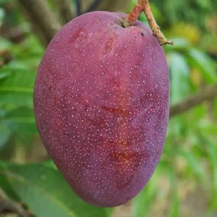 mangga irwin