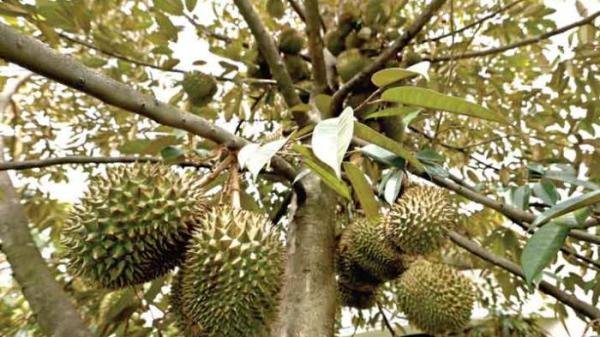 budidaya durian unggul