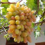 bibit anggur transfiguration