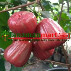 Bibit Jambu air Dalhari