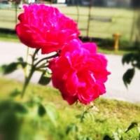 Tanaman bunga rose kampung
