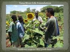 Sunflower crops in TRLF youth farm