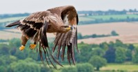 Geoff Spriegel Steppes Eagle