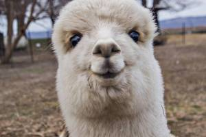 Just a happy Llama