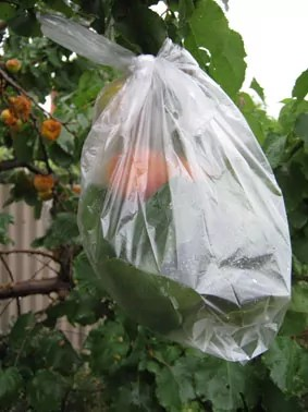 apricots_pecked_and_bagged_2