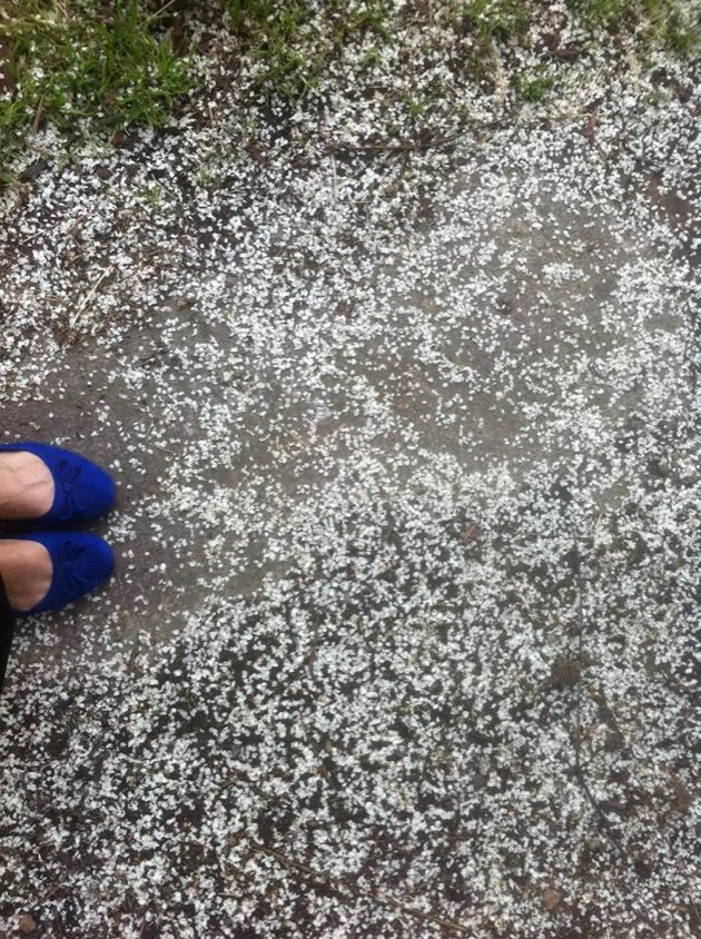feet in blue shoes standing amongst tiny white petals which cover the grey ground