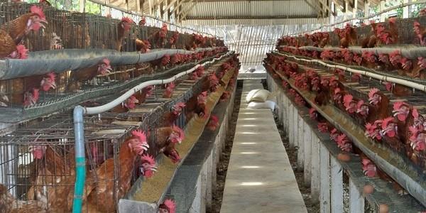 Ayam Tularkan 'Superbug' Jenis Baru Yang Kebal Antibiotik