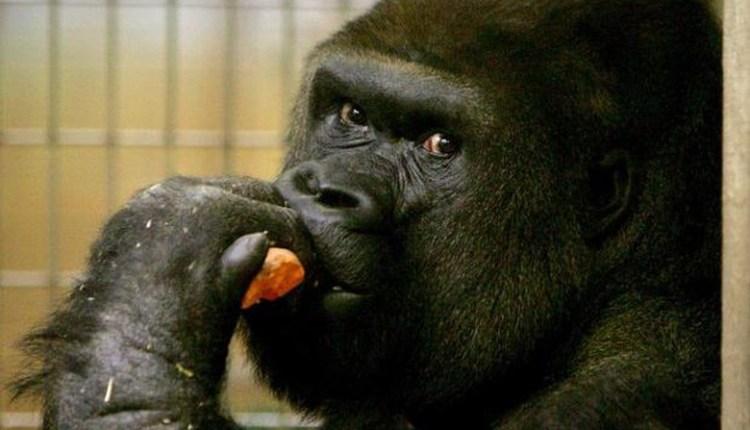 Gorila AS Umur 32 Tahun Mati Karena Penyakit Jantung