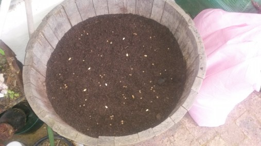 Spinach and pumpkin sown