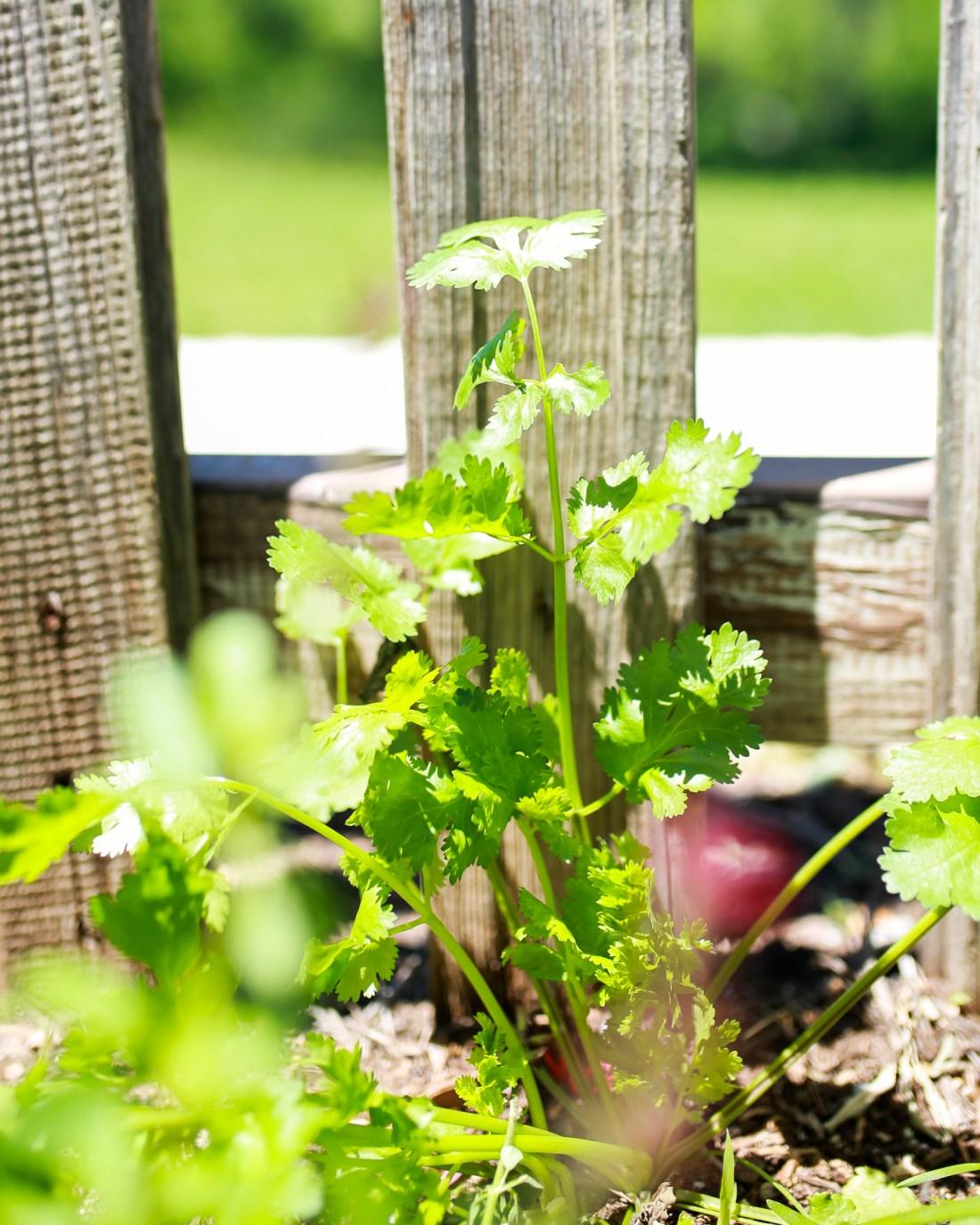Fresh cilantro recipes