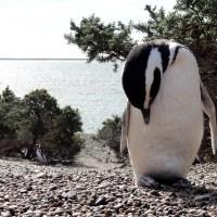 Punta Tombo et ses pingouins