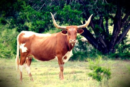 A Texas long horn