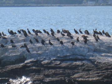 Casco Bay Wildlife