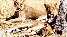Lounging Lionesses